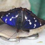 Schiller Schmetterling