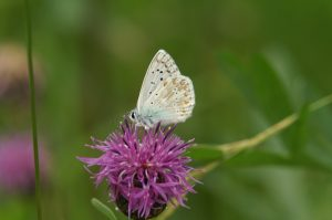 Bläuling Schmetterling