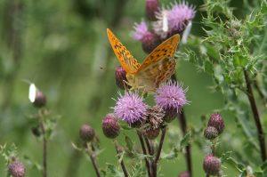 Kaisermantel Schmetterling